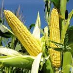 Corn Buta